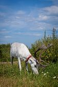 picture of caribou  - Female reindeer or caribou, Rangifer tarandus, on green meadow