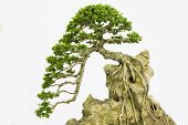 image of bonsai  - Bonsai pine tree against a white wall - JPG