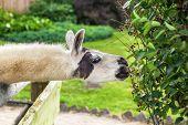 llama eating bush from the paddock