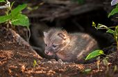 Grey Fox Kit (urocyon Cinereoargenteus) Creeps Out Of Den