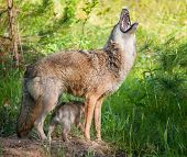 Coyote (canis Lantrans) Howls While Pups Scampers Underneath