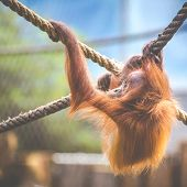 Stare Of An Orangutan Baby, Hanging On Thick Rope. A Little Great Ape Is Going To Be An Alpha Male.