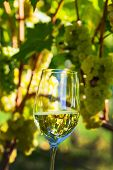 wine glass with wine in the vineyard of winemaker. vineyard in autumn. ripe wine grapes