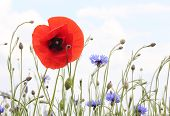 Red Poppy And Cornflowers, In Light Colors