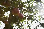 Apples on tree, close-up, lens flare