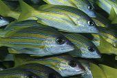 Mozambique, Indian Ocean, school of bluestripe snappers (Lutjanus kasmira), close-up