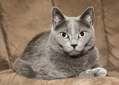 Russian blue cat on resting on a brown couch