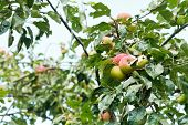 Ripe Apples On Tree Branches