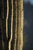 Close up of saguaro
