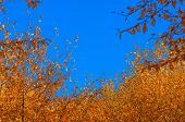 Yellow Autumn Leaves Against Blue Sky.