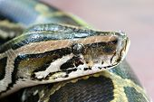 image of burmese pythons  - close up head shot of a burmese python in a petting zoo - JPG