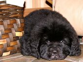 stock photo of newfoundland puppy  - Cute 8 week old Newfoundland puppy lying next to vintage woven basket - JPG