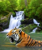image of tigress  - Siberian Tiger in water  - JPG