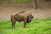 Wild wood bison. Buffalo