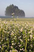 Summer Farmland Landscape With Buckwheat Blossoms And Fog