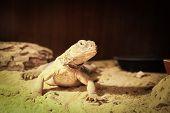 Handsome chameleon