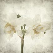 foto of narcissi  - textured old paper background with doule narcissi