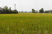 Rice Paddy Field In Asian Country