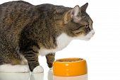 Gray Striped Cat Eats Dry Food