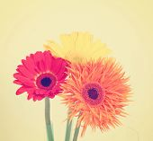 gerbera daisies on a beige background toned with a retro vintage instagram filter effect