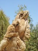 stock photo of hump  - The facial expression of a camel with one hump in a paddock on a dromedary farm in the desert of Australia - JPG