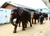 Elephants walking down the street with bathing, Sri Lanka