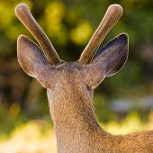 stock photo of black tail deer  - Back view of a young black tail male deer - JPG