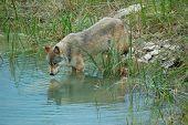 Reflexiones de lobo