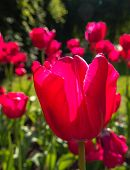 Pink tulips in bright sunlight