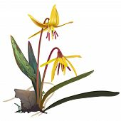 foto of realism  - Hand drawn vector illustration of yellow trout lily blooming on the forest floor in early spring - JPG