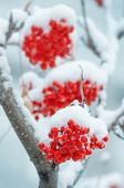 stock photo of mountain-ash  - Clusters of a red mountain ash in snow - JPG