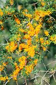 Branches Of Sea Buckthorn With Juicy Berries