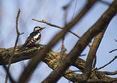 pic of woodpecker  - Great Spotted Woodpecker  - JPG