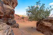 Tree In Wadi Rum Desert, Jordan