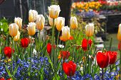 Yellow And Red Tulips And Multicolored Garden Flowers With Sun Light