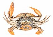 pic of cooked crab  - crab isolated on white background  - JPG