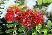 Callistemon Subulatus Flowers