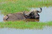 African buffalo (Syncerus caffer) lying in shallow water, Lake Nakuru National Park, Kenya