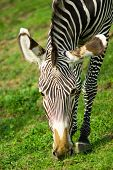 zebra and green grass