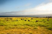 cows grazing at the meadow near the pacific ocean