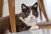 Portrait of a gray shorthair car with some white spots. Female cat laying on the floor below dining chairs.