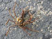 Graceful Decorator Crab, Oregonia gracilis2