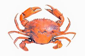 image of cooked crab  - crab isolated on white background  - JPG