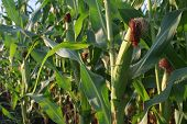 Corn On The Pland