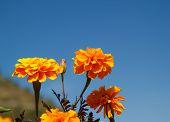 stock photo of marigold  - Beautiful marigolds flower in the garden of Thailand - JPG