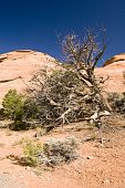 stock photo of semi-arid  - The weathered trunk of a Utah Juniper tree on a hillside in the Colorado National Monument - JPG
