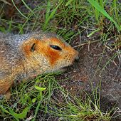 stock photo of groundhog day  - a dead squirrel on the ground with open eye - JPG