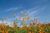 image of cosmos flowers  - beautiful cosmos flowers in garden of Thailnd - JPG