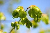 image of linden-tree  - the young leaves of the tree revealed linden - JPG