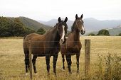 stock photo of brown horse  - Two brown horses standing happily together in a farm field in Tasmania - JPG